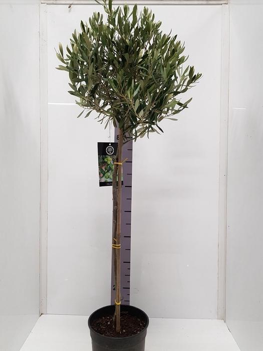 <h4>Olea europaea 20Ø 115cm</h4>