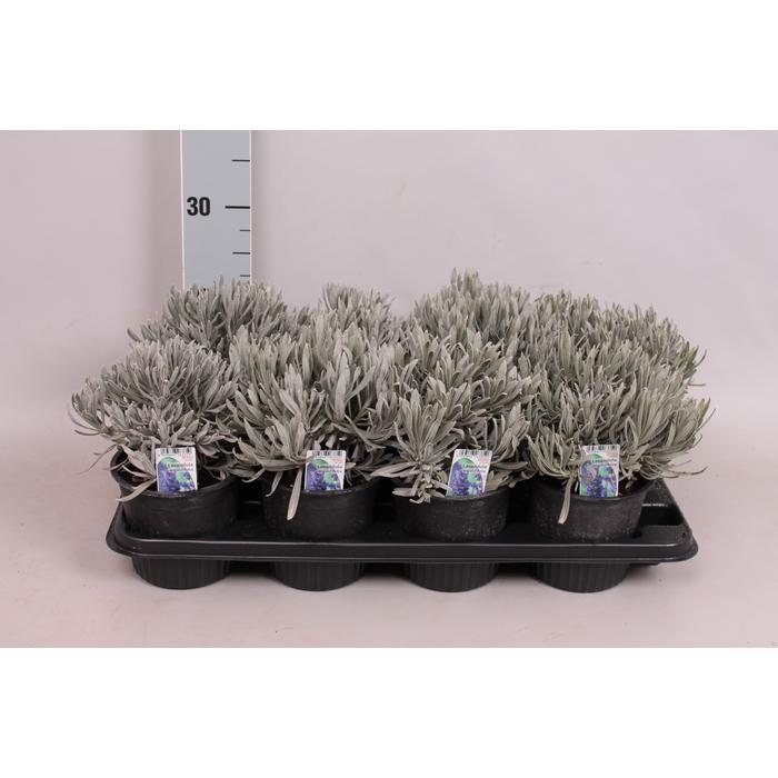 <h4>Kruiden I Lavandula Officinalis (Lavendel)</h4>