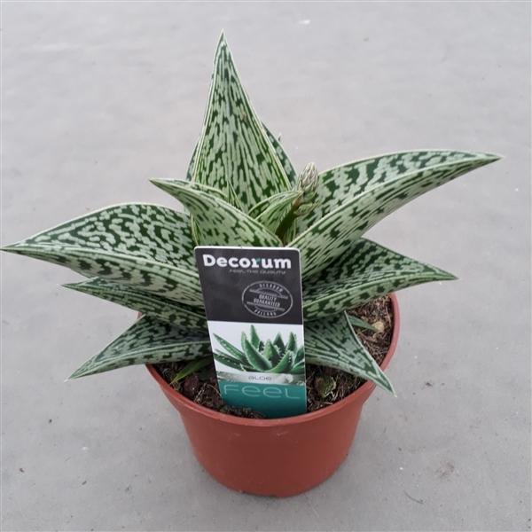 <h4>Aloe variegata 'Tribal'</h4>