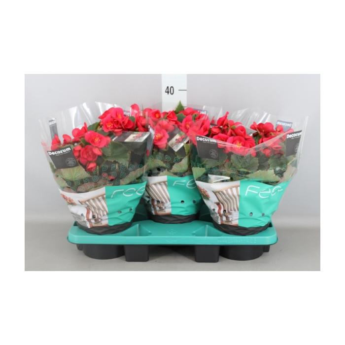 <h4>Begonia elat. HL 'Belove Cherry'</h4>