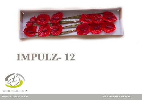 <h4>Anthurium andr. 'Impulz'</h4>