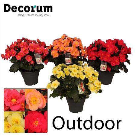 <h4>Begonia ''belove Gemengd'' Outdoor Decorum</h4>