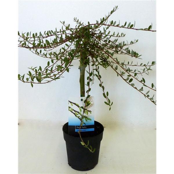 <h4>Salix rep. Voorthuizen</h4>