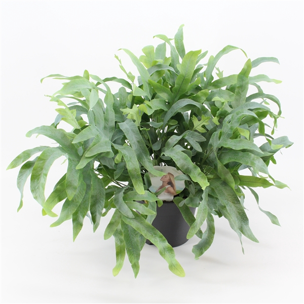 <h4>Phlebodium 'Blue Fern' - Air So Pure</h4>