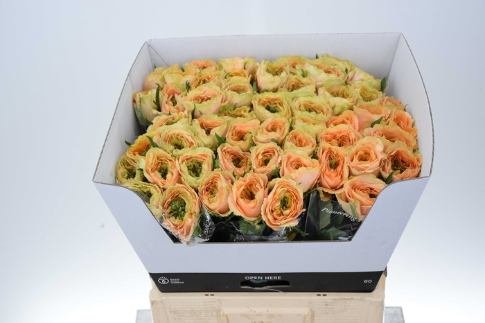 <h4>Rosa Gr Golden Lady</h4>