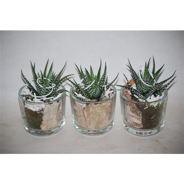 <h4>916 HAW mini cil glas met Haworthia</h4>