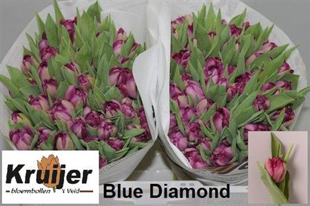 <h4>TU DU BLUE DIAMOND</h4>