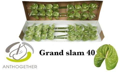 <h4>Anthurium andr. 'Grand Slam'</h4>