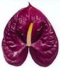<h4>Anthurium Roxette Purple Large</h4>