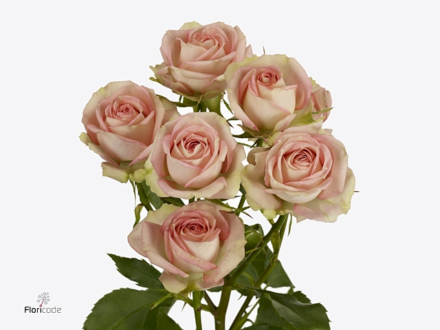 Rosa Gr. Pink Blossoms