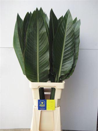 <h4>Strelitziablad 15cm</h4>