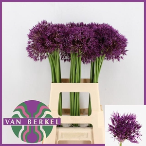 ALLIUM PURPLE RAIN