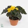 Begonia Tub. divers kleuren