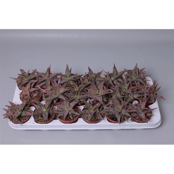 <h4>Aloe Pink Blush</h4>