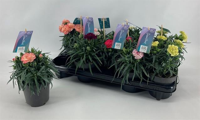 <h4>Dianthus Flow gemengd</h4>