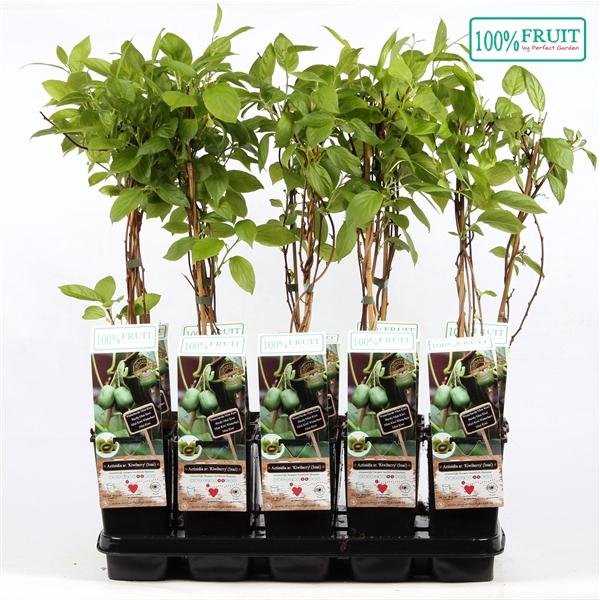 <h4>Actinidia arguta kiwiberry (issai) - Self-fertile - 100%FRUIT</h4>