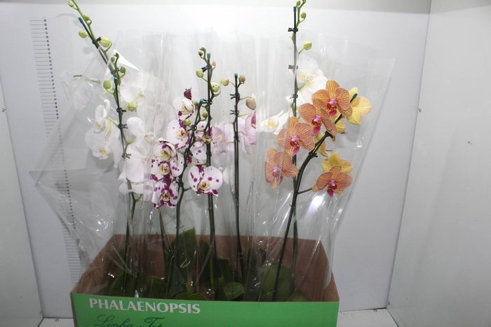 <h4>PHALAENOPSIS P15</h4>