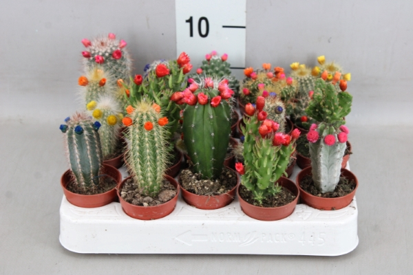<h4>Cactus   ...decorated</h4>