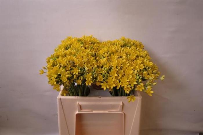 <h4>Allium Mo Jeannine</h4>