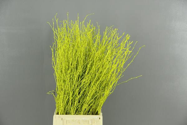 <h4>Betula Bs Paint Lime Green Fst</h4>