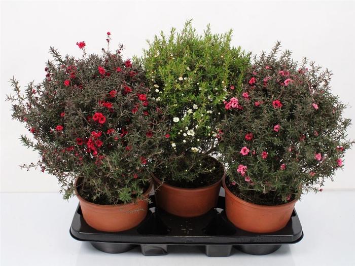 <h4>Leptospermum Scoparium Bush Mix</h4>