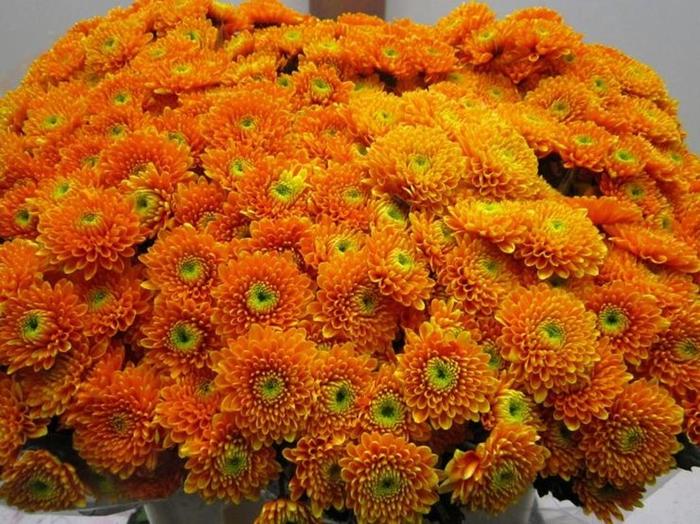 <h4>Chr T Ibis Oranje</h4>