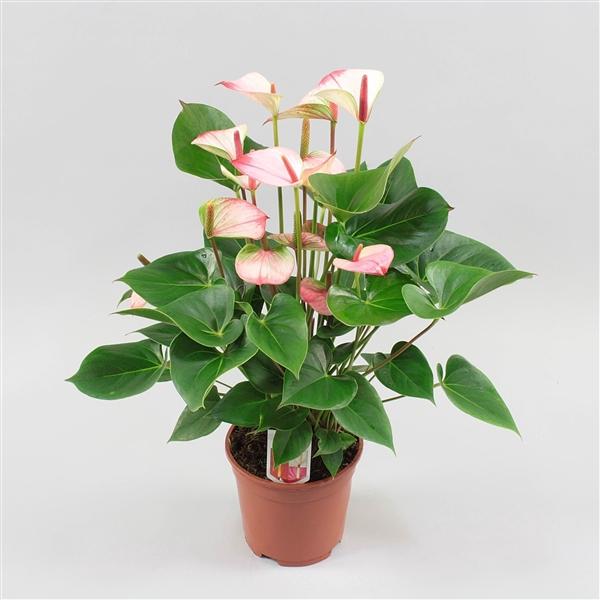 <h4>Anthurium andreanum Amalia Elegance</h4>