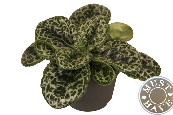 <h4>Streptocarpus 17Ø 35cm Pretty</h4>