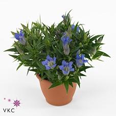<h4>Gentiana sc. Rocky Diamond Blue</h4>