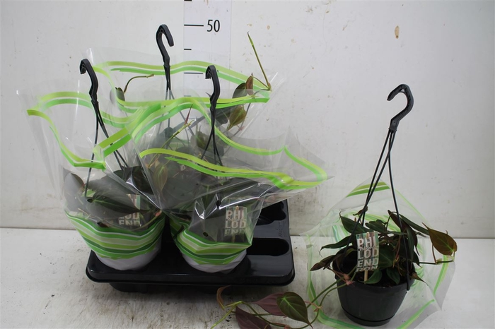 <h4>Philodendron Scandens 'micans' Hang</h4>