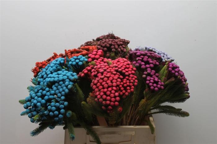 <h4>Kaaps Albiflora Mixed Colour</h4>