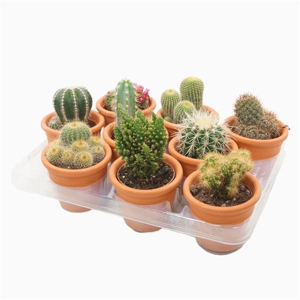 <h4>Cactus mix 8,5 cm. in cilinderpot</h4>