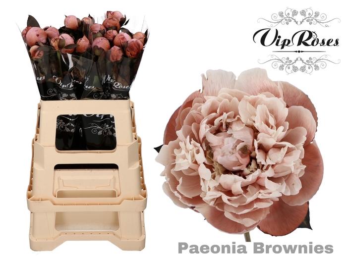 <h4>PAEONIA BROWNIES L 50 x 20</h4>
