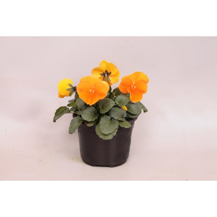 <h4>Viola cornuta sixpack F1 Orange</h4>