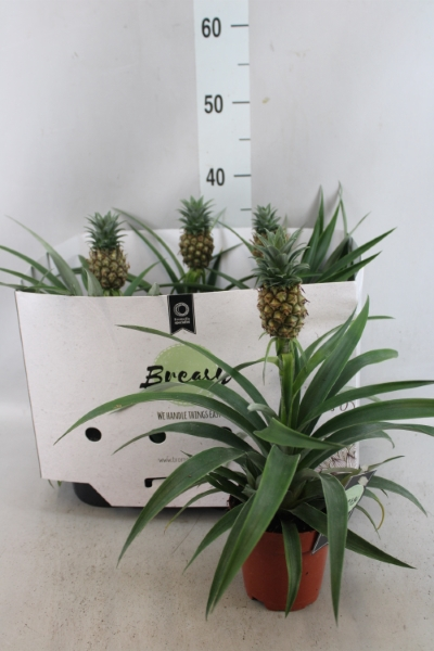 <h4>Ananas   ...</h4>