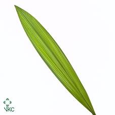 Spathogletis -curculigo