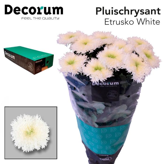 <h4>Chrysanthemum PL 'Etrusko White'</h4>