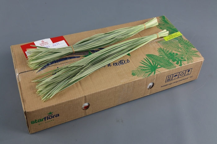 <h4>T-Grass Variegated</h4>
