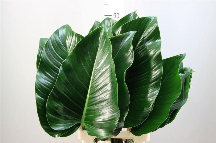<h4>Philodendron Congo Groen Xxl</h4>