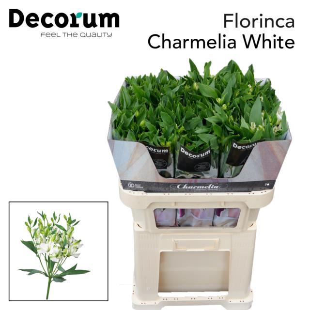 <h4>Alstr Flor Charmelia White</h4>
