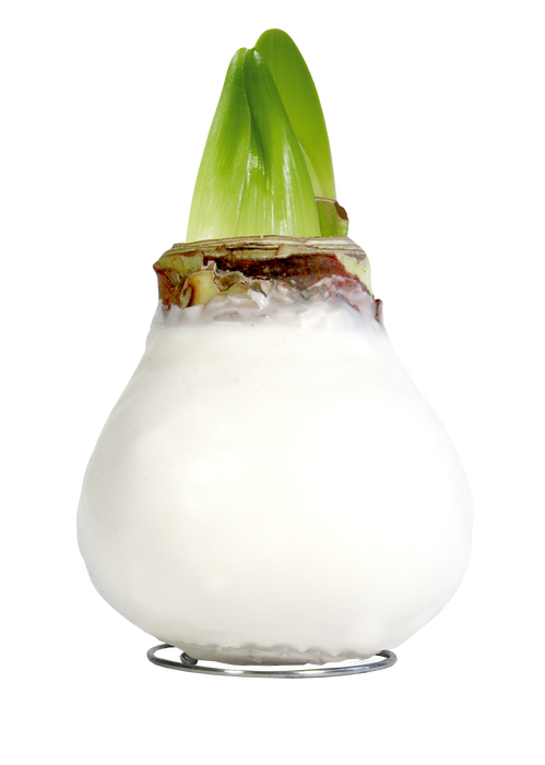 <h4>WAX AMARYLLIS Touch of Natural White</h4>