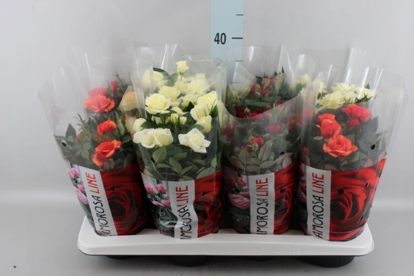 <h4>Rosa  'Amorosa'   ...mix</h4>