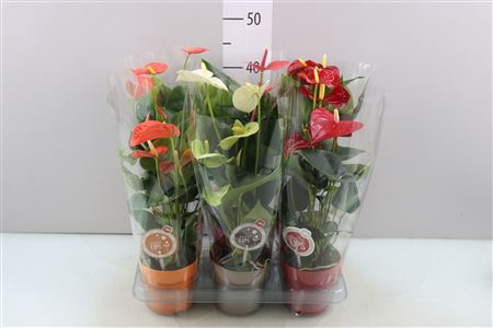 <h4>Anthu A Gemengd Morelips</h4>