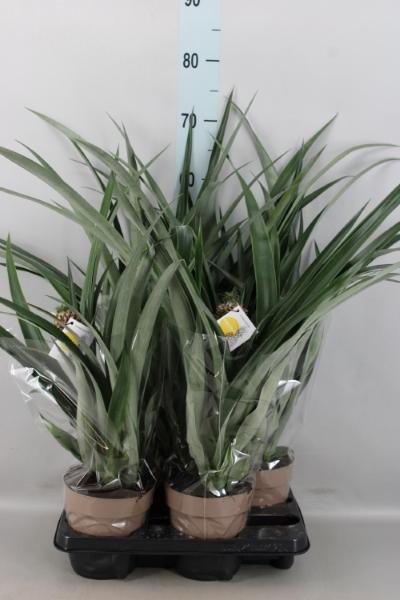<h4>Ananas  'Corona'</h4>