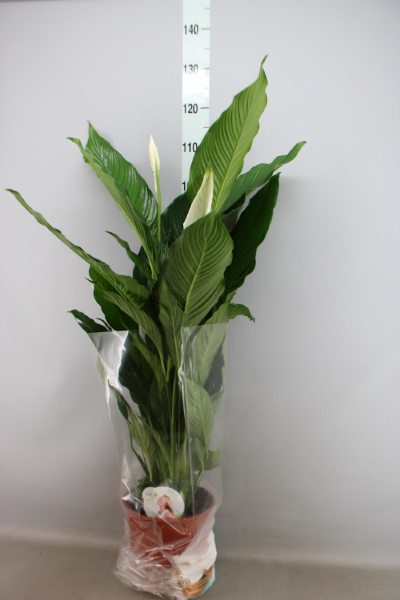 <h4>Spathiphyllum  'Sweet Sebastiano'</h4>