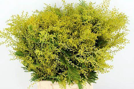 <h4>Acacia dealbata   .../bos</h4>