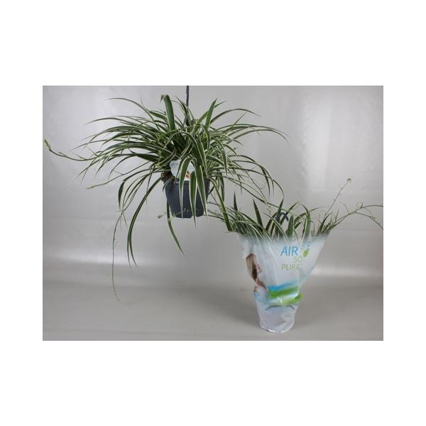 <h4>Chlorophytum Comosum 'Vittatum'  Air So Pure</h4>
