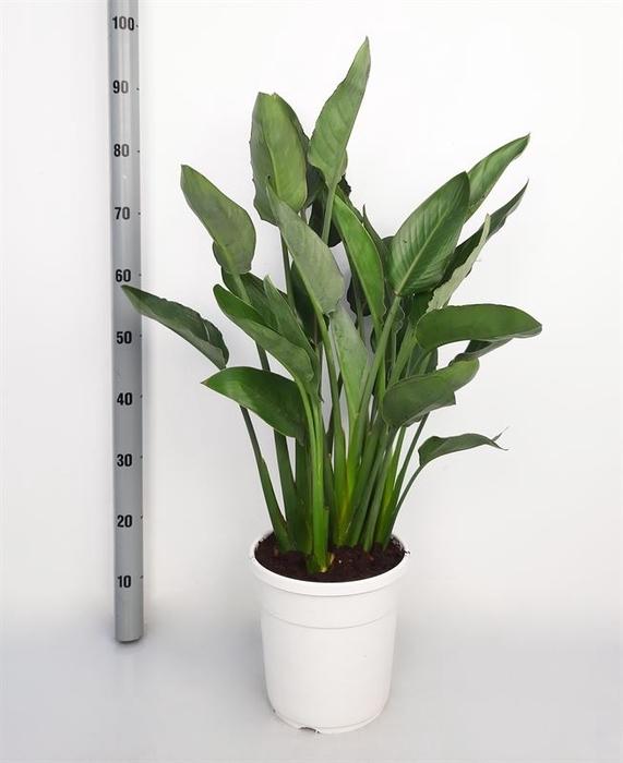 <h4>Strelitzia reg.</h4>