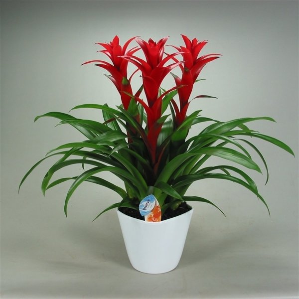 <h4>Guzmania Ostara Forma Wit (Decorum)</h4>