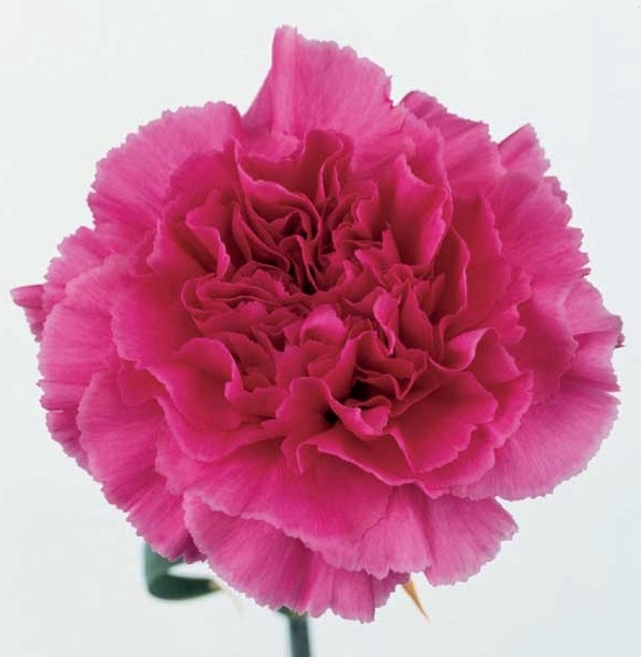 <h4>Clavel fucsia Fancy (APOSENTO)</h4>